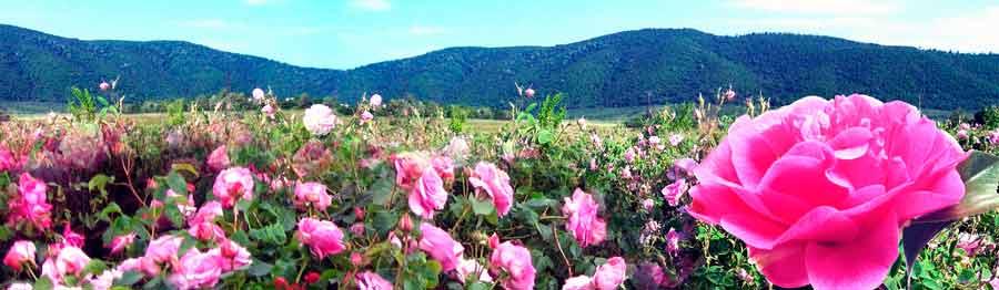 dolina-roz